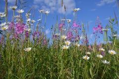 Weide-Kraut und Kamille auf dem Gebiet Lizenzfreie Stockbilder