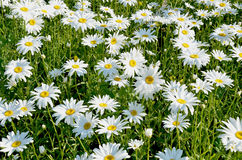 Weide met bloeiende madeliefjes Stock Afbeelding
