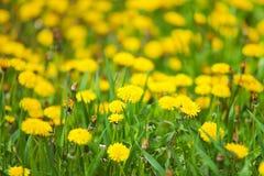 Weide met bloeiende paardebloemen Stock Afbeeldingen