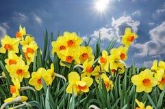 Weide met bloemen van gele narcissen Stock Afbeeldingen