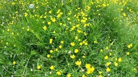Weide met boterbloemen in de lente stock footage