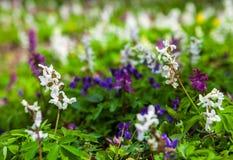 Weide met Corydalis-bloemen van verschillende kleuren Stock Foto's