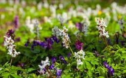 Weide met Corydalis-bloemen van verschillende kleuren Stock Afbeelding