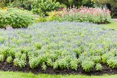 Weide met de bloeiende Blauwe kruidenbloemen van Salvia Royalty-vrije Stock Foto