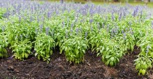 Weide met de bloeiende Blauwe kruidenbloemen van Salvia Stock Fotografie