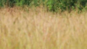 Weide met droog gras op wind bij zomer, de met veranderlijke diepgang van gebied stock videobeelden