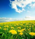 Weide met gele paardebloemen. Stock Foto