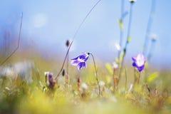 Weide met gras en bloemen Royalty-vrije Stock Afbeelding