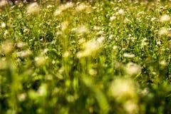 Weide met herder-beurs bloemen Royalty-vrije Stock Afbeeldingen