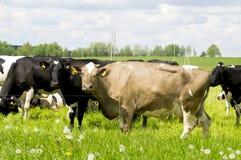 Weide met koeien Royalty-vrije Stock Foto