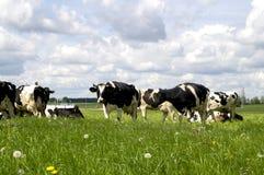 Weide met koeien Royalty-vrije Stock Afbeeldingen