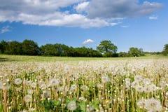 Weide met langzaam verdwenen paardebloemen Stock Afbeelding