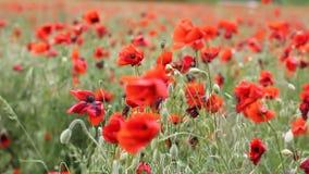 Weide met mooie rode papaverbloemen in de lente stock video
