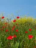 Weide met opium Stock Foto's
