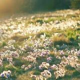 Weide met pasquebloemen in het plaatsen van zon Stock Foto