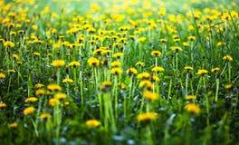 Weide met veel bloeiende gele paardebloemen Stock Foto