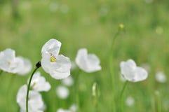 Weide met witte bloemen Stock Fotografie