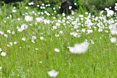 Weide met witte bloemen Royalty-vrije Stock Foto's