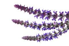 Weide Sage Flowers Royalty-vrije Stock Foto's