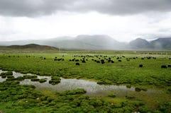 Weide in Tibet Lizenzfreie Stockfotos