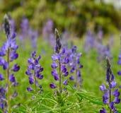 Weide van blauwe lupinebloemen Stock Foto's