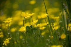 Weide van gele boterkopbloemen royalty-vrije stock foto's