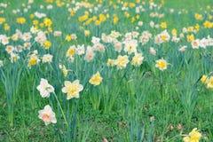 Weide van gele narcis Royalty-vrije Stock Afbeelding