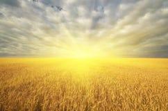 Weide van gouden tarwe en grote zonneschijn stock afbeelding