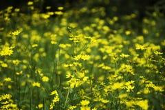 Weide van kleine gele bloemen bij Kaas-plateau, Maharashtra, India stock foto's