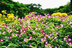 Weide van kleurrijke Torenia, Vorkbeenbloem in park Royalty-vrije Stock Afbeelding