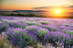 Weide van lavendel Royalty-vrije Stock Afbeelding
