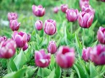 Weide van tulpen royalty-vrije stock foto