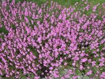 Vele kleine roze bloemen Stock Afbeelding