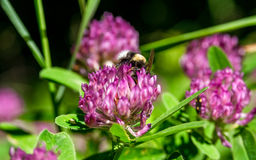 Weide van violette bloemen met de hommel Royalty-vrije Stock Foto