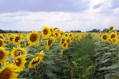 Weide van zonnebloemen Royalty-vrije Stock Afbeeldingen