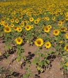 Weide van zonnebloemen, Toscanië Royalty-vrije Stock Afbeelding