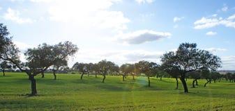 Weide von Eichen und grüne Wiese mit blauem Himmel spritzten mit Wolken Lizenzfreie Stockfotos