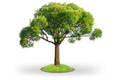 Weidebaum getrennt auf Weiß Stockbilder