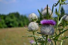 Weidebloemen - de bos van de distelbloem Royalty-vrije Stock Fotografie