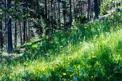 Weidehoogtepunt van bloemen in het bos in de Pyreneeën Royalty-vrije Stock Foto's