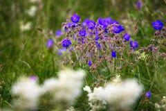 Weidekraan (Geranium pratense) op weiden in midden van de zomer royalty-vrije stock foto