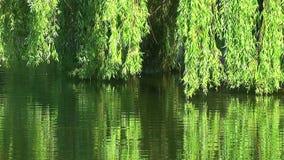 Weiden auf Wasser stock video footage