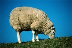Weiden der weißen Schafe Stockbild