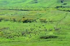 Weiden lassen der Bauernhofherde Stockfoto