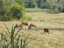 Weiden lassen der braunen Kuhherde auf einer grünen Weide in Thailand lizenzfreie stockbilder