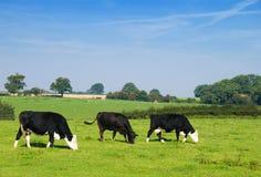 Weiden lassen der friesischer Rinder Stockbild