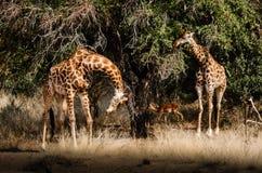 Weiden lassen der Giraffen Lizenzfreie Stockfotografie