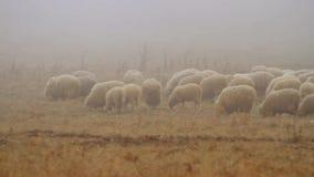 Weiden lassen der Herde der Schafe auf trockener herbstlicher Weide auf die Oberseite der h?geligen Landschaft schu? Schafherde,  stock video