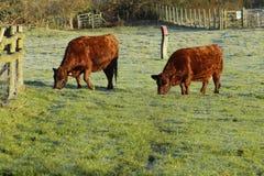 Weiden lassen der Kühe Lizenzfreies Stockbild