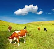 Weiden lassen der Kühe Stockbild